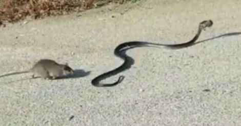 Rat and Snake