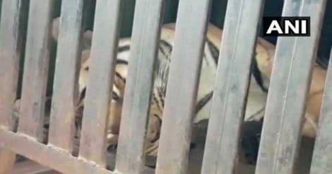 avni-tigress