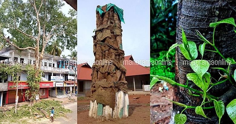 saving-peepal-tree-maranchery.jpg.image.780.410