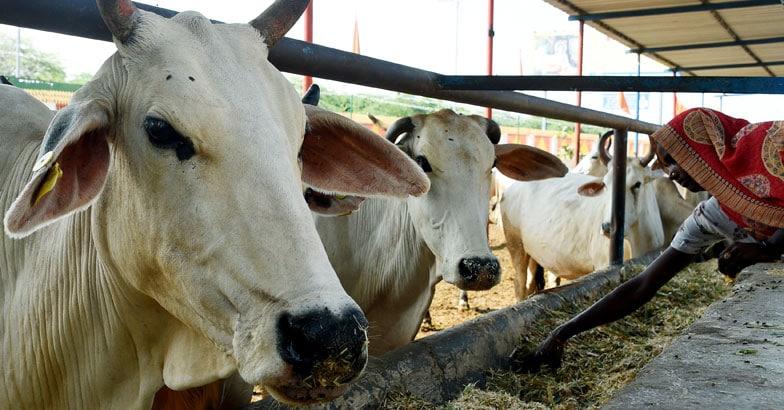 Gaushala - Cow Shelter
