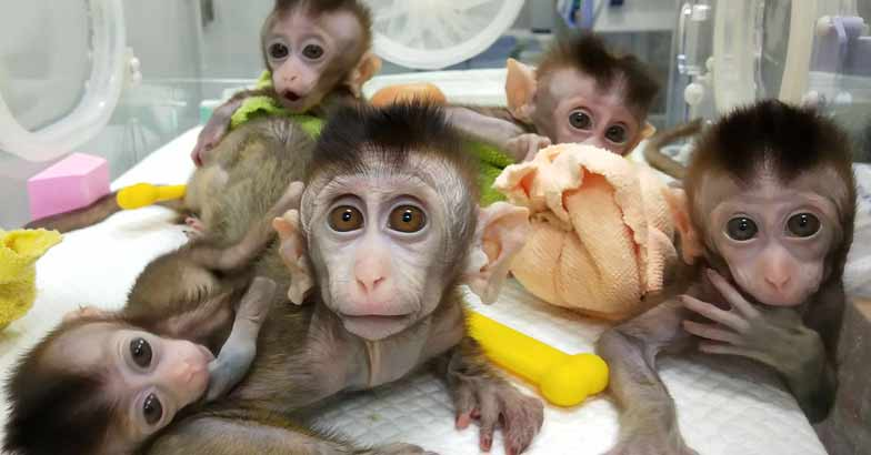 China-clone-monkeys