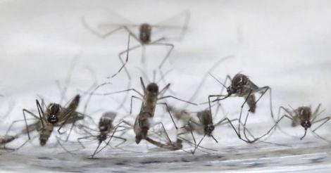 Aedes-Aegypti-mosquitos