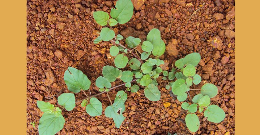 ilakal-pacha-column-Boerhavia-diffusa