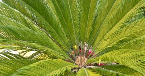 Cycad-leaf