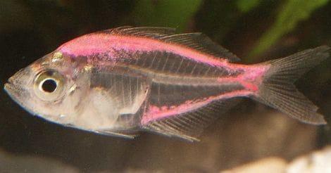 tetra-fish