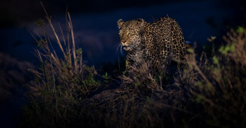 Lone leopard walking in darkness and hunt for food in nature