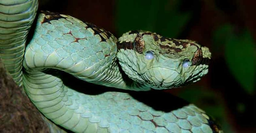 11Malabar-Pit-Viper