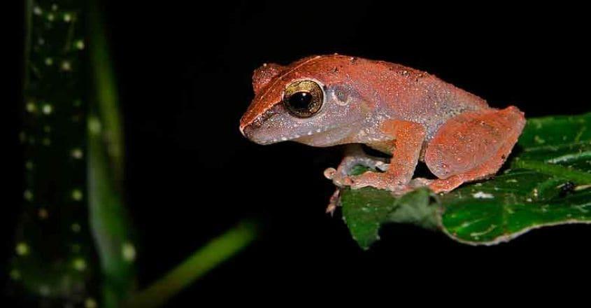 2Amboli-bush-frog