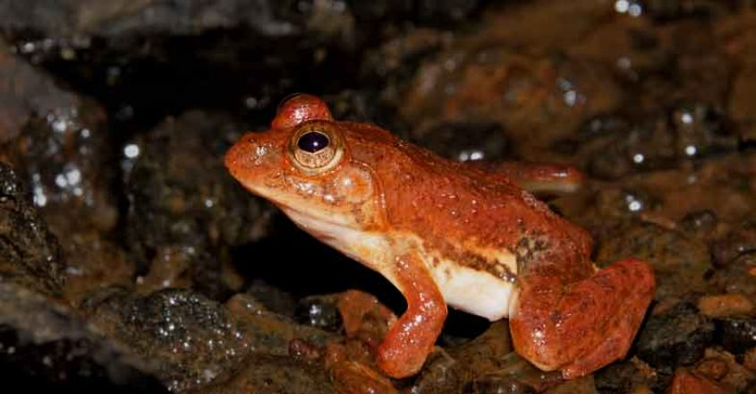 6Common-skittering-frog
