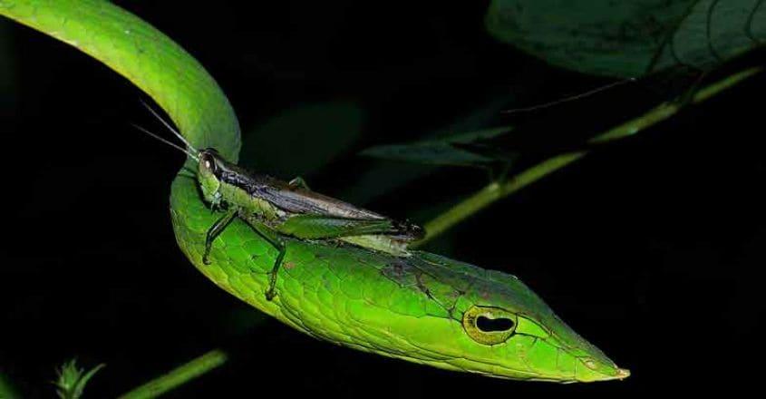 9Green-vine-snake-with-grasshopper