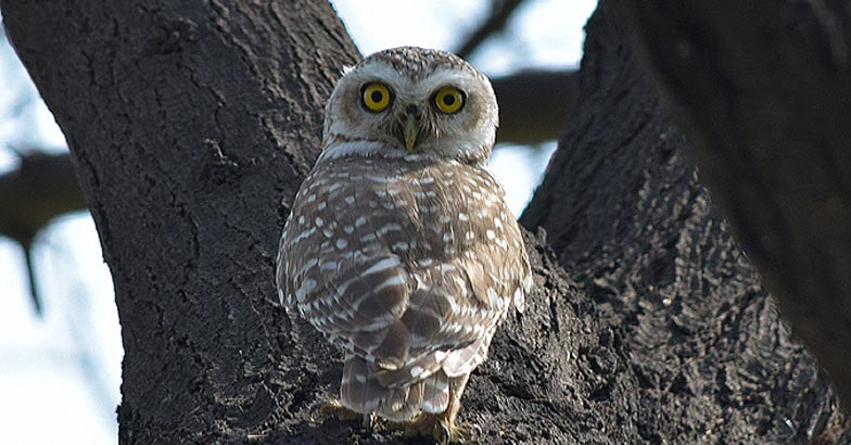 birds-santuary-Spotted-owlet6