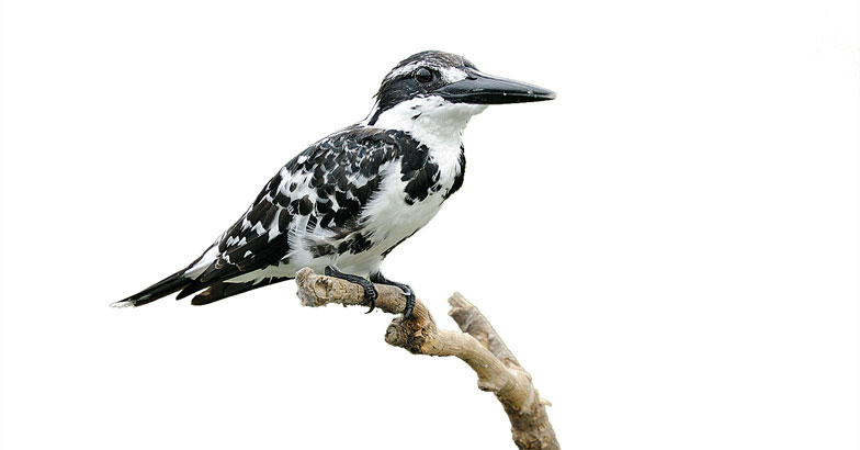 wild-safari--Pied-Kingfisher-Smitha