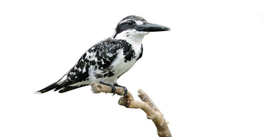 wild-safari--Pied-Kingfisher-Smitha