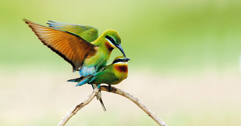 wild-safari-Blue-tailed-Bee-eaters-mating-Smitha
