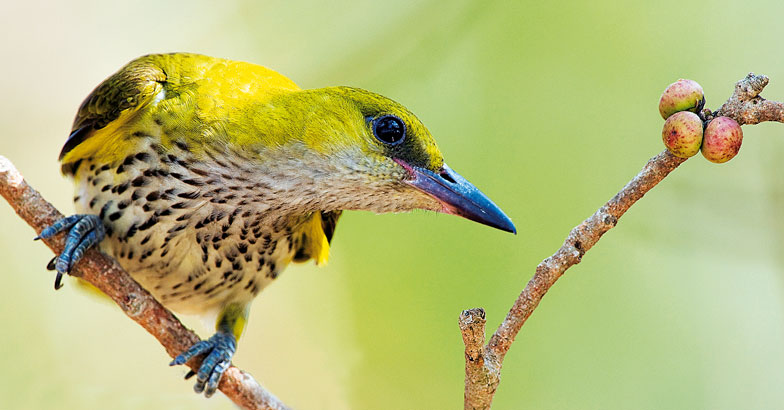 wild-safari-Golden-Oriole-Female-Smitha