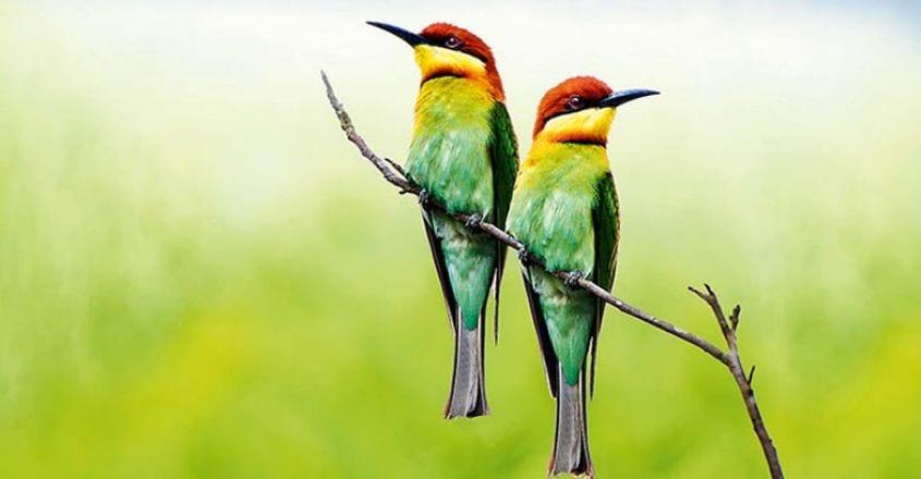 Chestnut-headed bee-eater, bay-headed bee-eater, Merops leschena