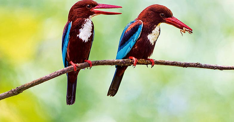 White Throated Kingfisher pair with prey, Halcyon smyrnensis, wh