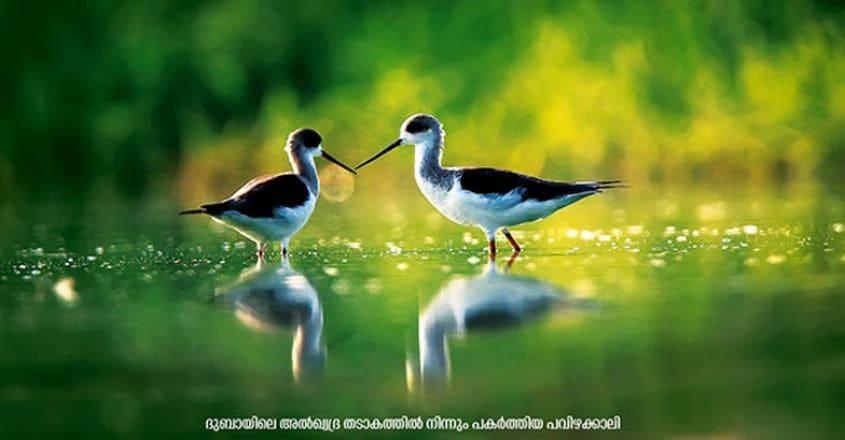 wildlife-black-winged-stilt---dubai-(2)-copy