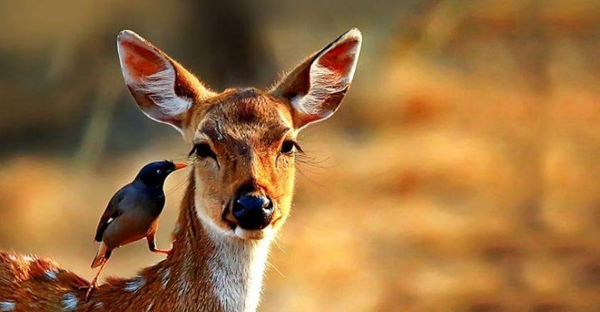 wildlife-spotted-deer---bandipur-copy