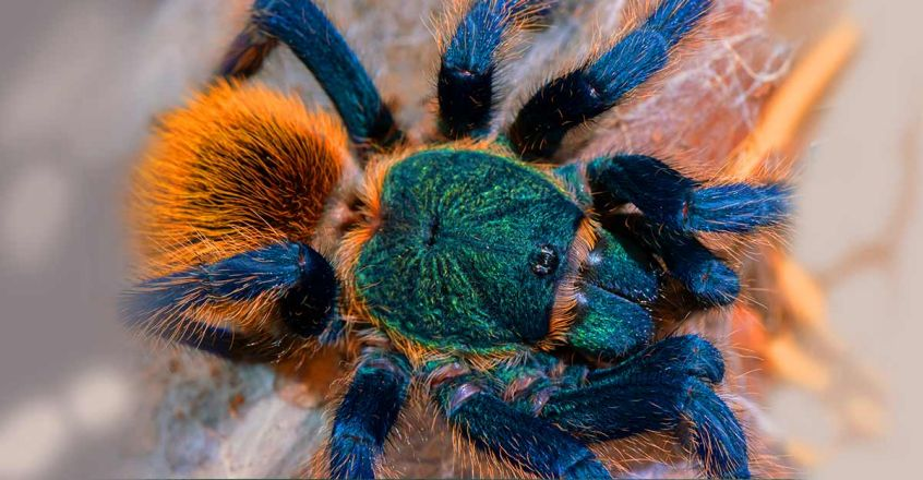 spider-tarantula-facts-and-information