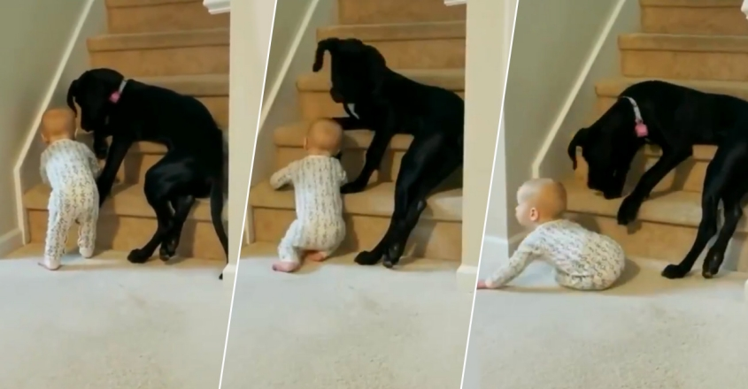 pet-dog-prevents-toddler-from-climbing-up-stairs-alone