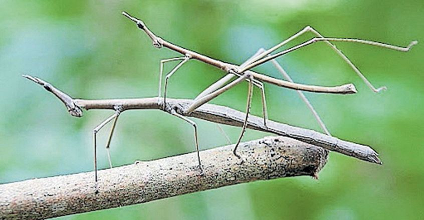 fascinating-facts-about-stick-insects