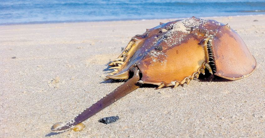 horseshoe-crab-blood-could-help-make-covid-19-vaccine1