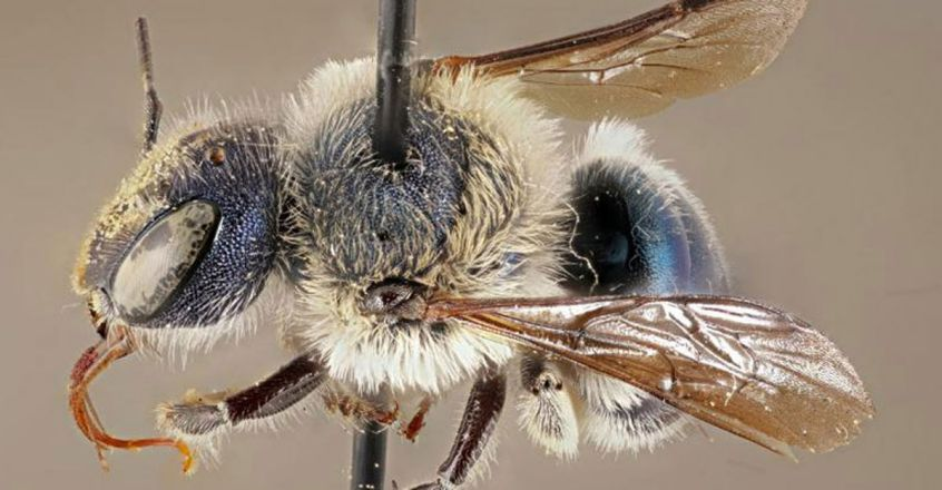 rare-blue-metallic-calamintha-bees-spotted-in-florida