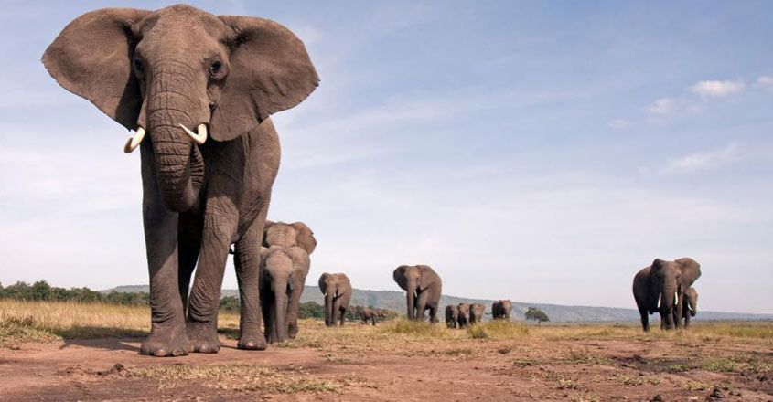 african-elephants-under-continued-threat