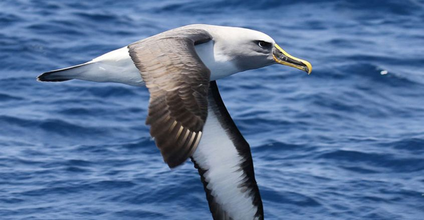 widespread-illegal-fishing-albatrosses-are-helping-us