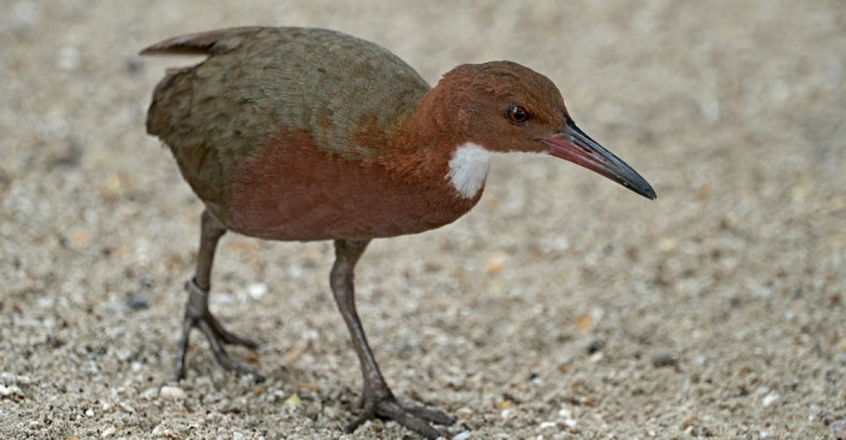 how-aldabra-rail-lost-the-ability-to-fly-over-time
