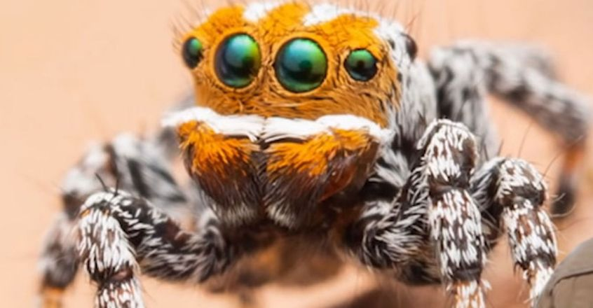 found-new-species-peacock-spider-named-pixar-character-nemo