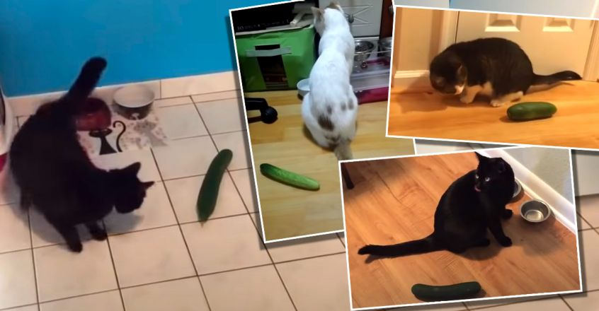 why-are-cats-scared-of-cucumbers