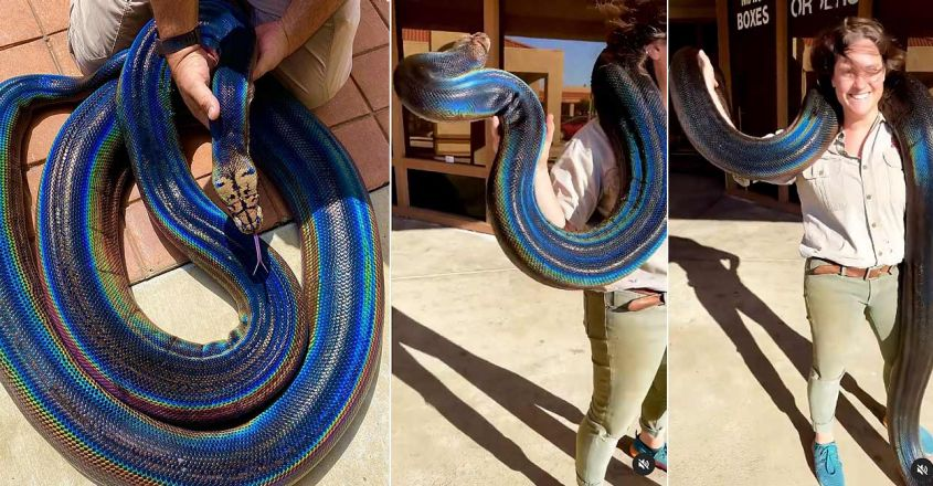 viral-video-of-a-gorgeous-rainbow-snake-posted-by-the-reptile-zoo