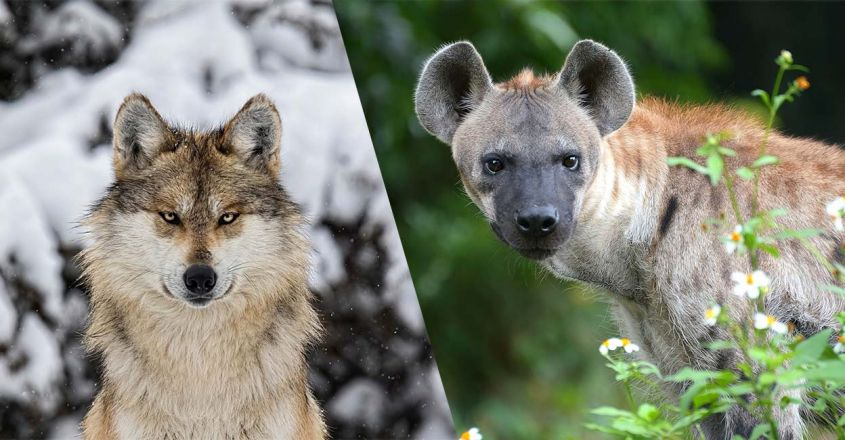 grey-wolf-vs-spotted-hyena-fight-comparison
