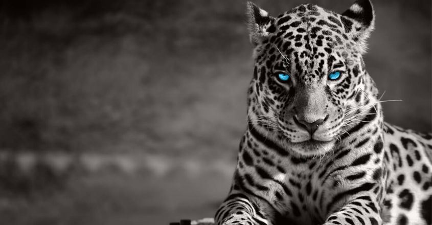 interesting-facts-about-jaguars