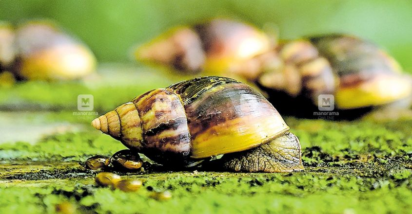 Giant snails that were eating Florida homes finally eradicated again