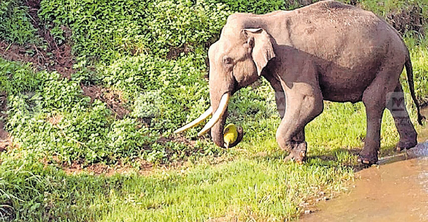 wayanad-jack-fruit-for-elephant