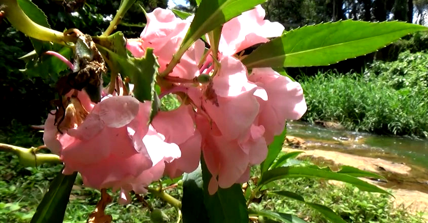 balsam-flower