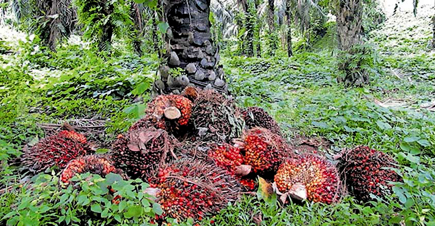 Red oil palm plantation