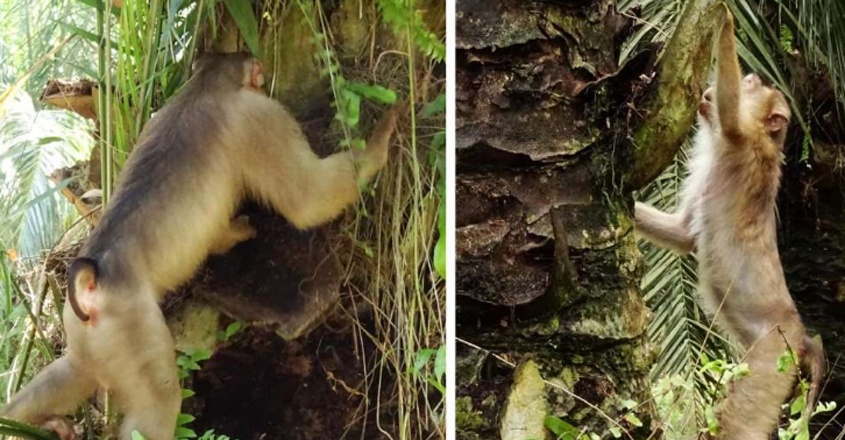 Killer Rat-Eating Monkeys