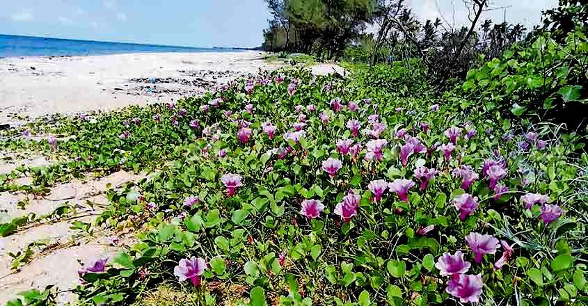 Kadal kurinji blooms at Vypin coastal area