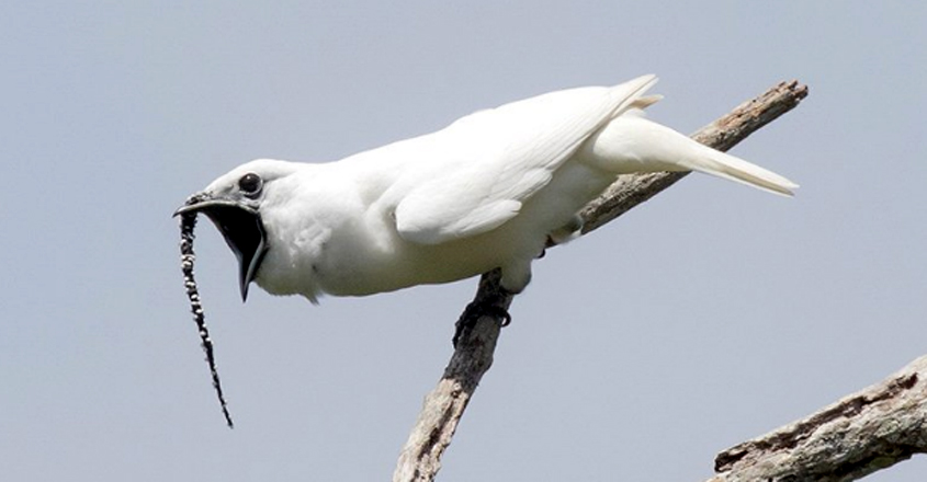 This bird's song is the loudest in the world
