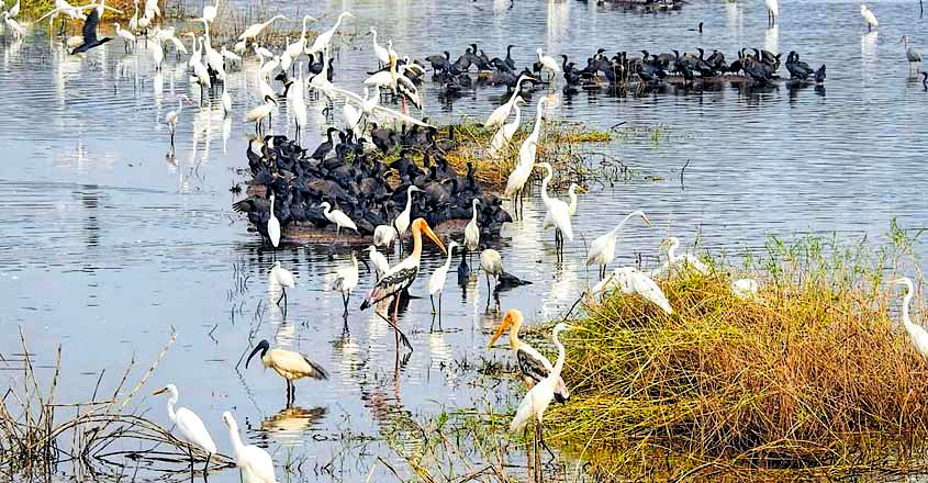 Migratory Birds At Kole Wetlands Near Pullu,Thrissur