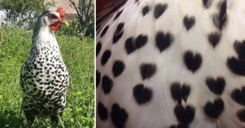 This Hen Has Heart Shapes On Her Feathers