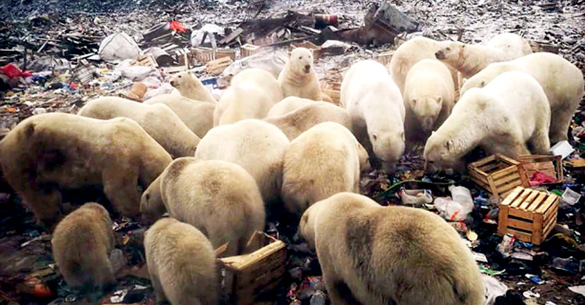Mass Invasion of Starving Polar Bears