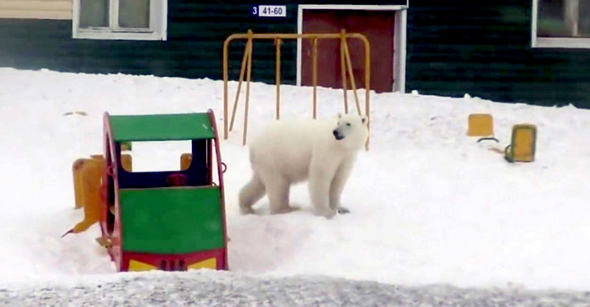 Invasion of Starving Polar Bears