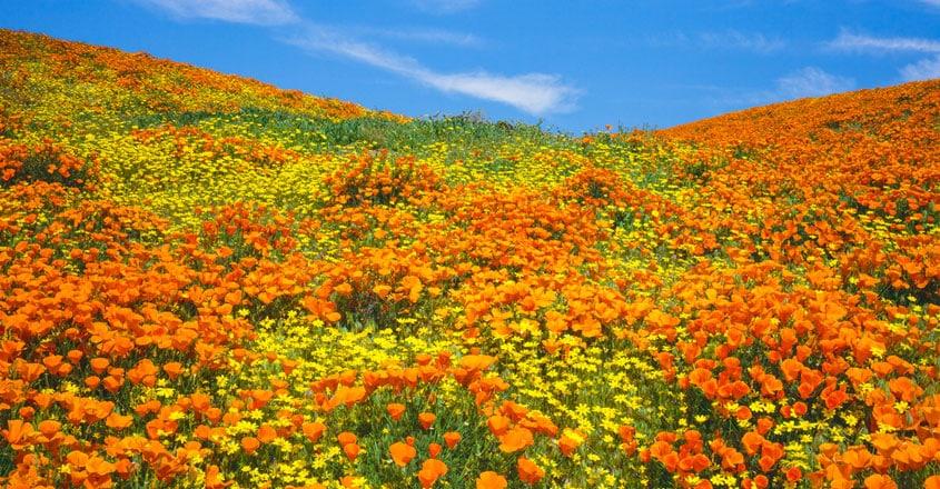 California Desert Bursts Into Dazzling Super Bloom
