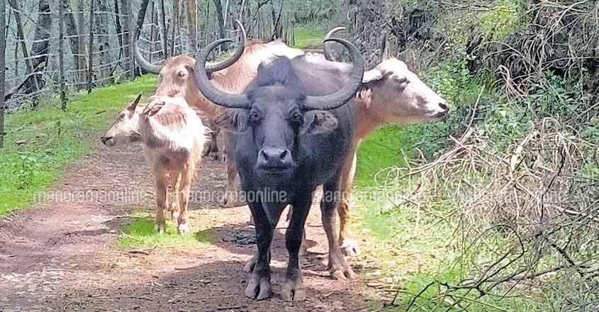 Toda buffaloes
