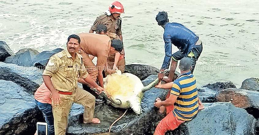 sea turtle rescued from rocks